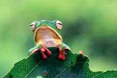 Frog on branch, tree frog, frog. Whitelipped frog on leaves, frog royalty free stock photography