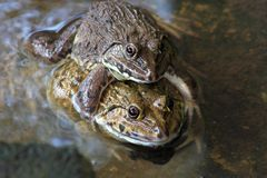 Frog breeding in the farm Stock Photo