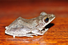 Frog. On the brown backgroud Royalty Free Stock Photography