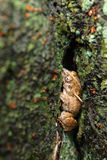 Frog. Brown frog hiding on a tree covered with moss Stock Photography