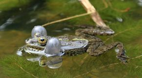 Frog bubbles Royalty Free Stock Photography