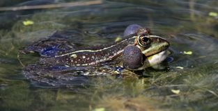 Frog bubbles Royalty Free Stock Photo