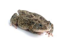 Frog Bufo bufo Stock Images