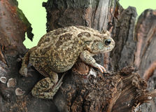 Frog Bufo bufo Stock Photo