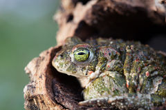 Frog with bulging green eyes Stock Photo