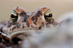 Frog with bulging green eyes Royalty Free Stock Images