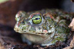 Frog with bulging green eyes Royalty Free Stock Photo