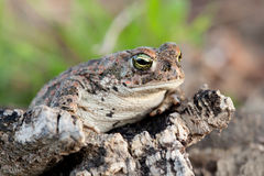 Frog with bulging green eyes Royalty Free Stock Photos