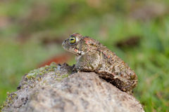 Frog with bulging green eyes Royalty Free Stock Photography