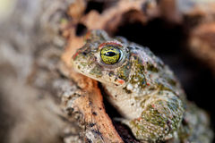 Frog with bulging green eyes Stock Photos
