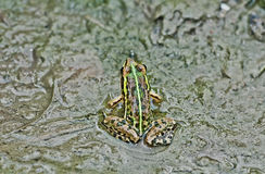 Frog Bullfrog mud puddle algae close up copy space Royalty Free Stock Photos
