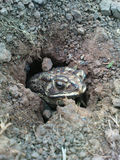 A frog came out of the hole Royalty Free Stock Photo