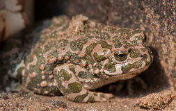 Free Frog Camouflage Stock Photos - 34929183