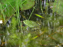 Frog camouflaged. A green frog camouflaged in its habitat - a pond grown with plants and algae - during breeding season Stock Images
