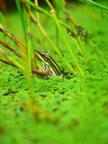 Frog. A frog camouflages between a pond and water plant Stock Photos