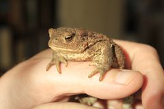 Frog can be a pet. royalty free stock photography