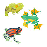 Frog cartoon tropical animal cartoon nature icon funny and isolated mascot character wild funny forest toad amphibian Royalty Free Stock Photo