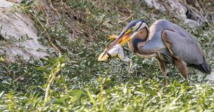 Frog Catch: Ardea purpurea or the Purple heron stock images