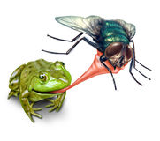 Frog Catching Bug. With a sticky tongue shooting out as a nature concept of the natural cycle of life where a green amphibian eats a fly insect for survival on Royalty Free Stock Photo