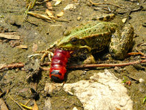 Frog and caterpillar Royalty Free Stock Image