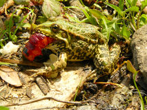 Frog and caterpillar Royalty Free Stock Photo