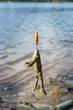 Frog caught on wobbler. royalty free stock images