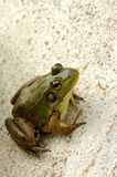 Frog on cement. Close-up of frog royalty free stock photos