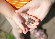 Frog in child hand Stock Photos