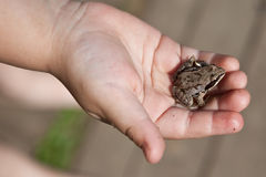 Frog in child hand Stock Images