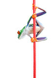 Frog climbing rope isolated on white Royalty Free Stock Image