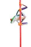 Frog climbing rope isolated on white. Frog hanging to a rope closeup isolated on white - red-eyed tree frog (Agalychnis callidryas Royalty Free Stock Image
