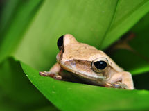 Frog close-up Royalty Free Stock Images