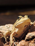 Frog, close-up Royalty Free Stock Photography