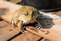 Frog. Close up frog in the farm Royalty Free Stock Images