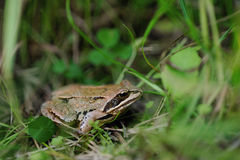 Frog. Close up. Stock Photo