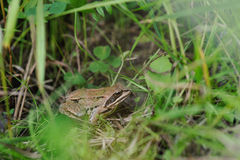 Frog. Close up. Stock Image