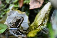 Frog close-up Royalty Free Stock Photo