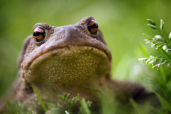 Frog, close up portrait Stock Photo