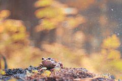 Frog close-up portrait royalty free stock image