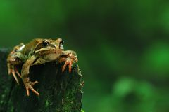 Frog close-up portrait Stock Images