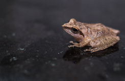 Frog Close Up Stock Photography