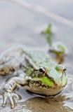 Frog close up Stock Photo