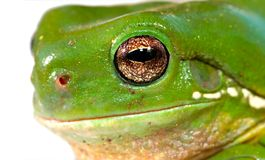 Frog closeup. Close up of the head of a green tree frog Royalty Free Stock Images