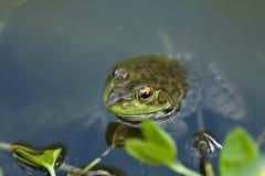 Frog closeup Royalty Free Stock Photo
