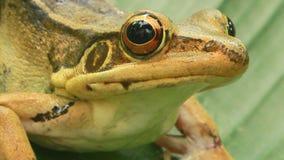Frog closeup stock video footage