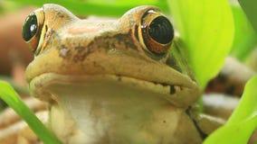 Frog closeup stock video