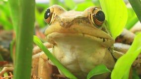 Frog closeup stock footage