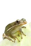 Frog closeup on leaf Royalty Free Stock Photography