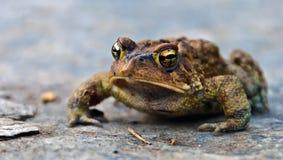 Frog Closeup Stock Image