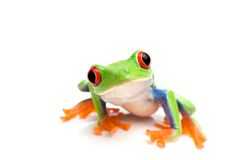 Frog closeup on white Royalty Free Stock Photos